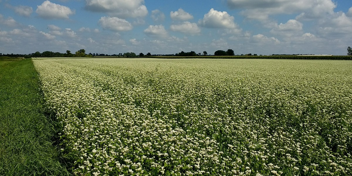 Buckwheat, used as a summer cover crop to build soil and suppress weeds, can also be harvested for grain. Photo courtesy of Adam Davis.