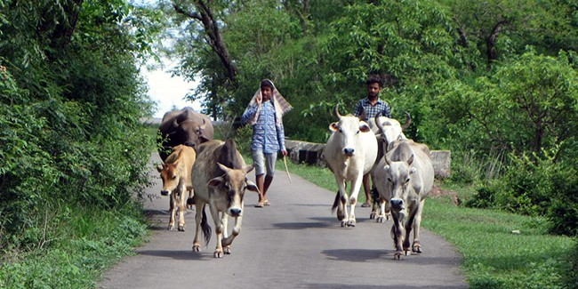 Indian cattle farmers