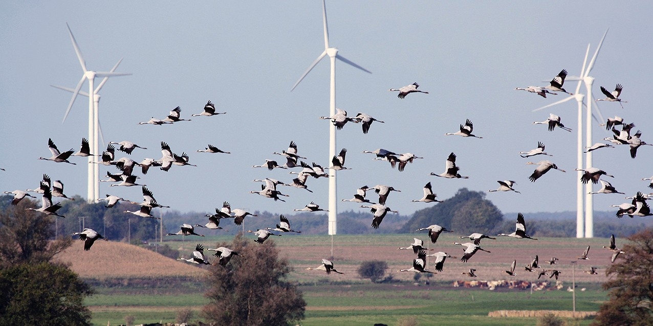 flock of birds and wind turbines