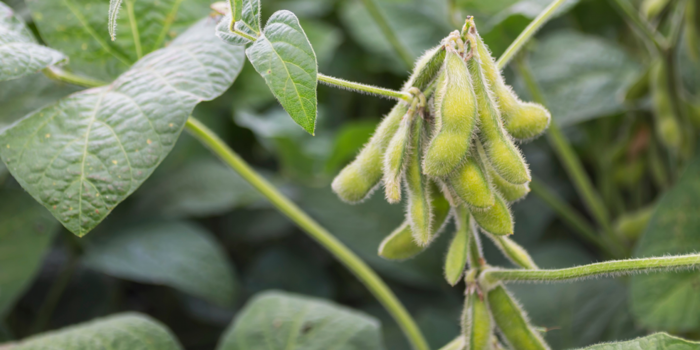 Maturing soybean pods