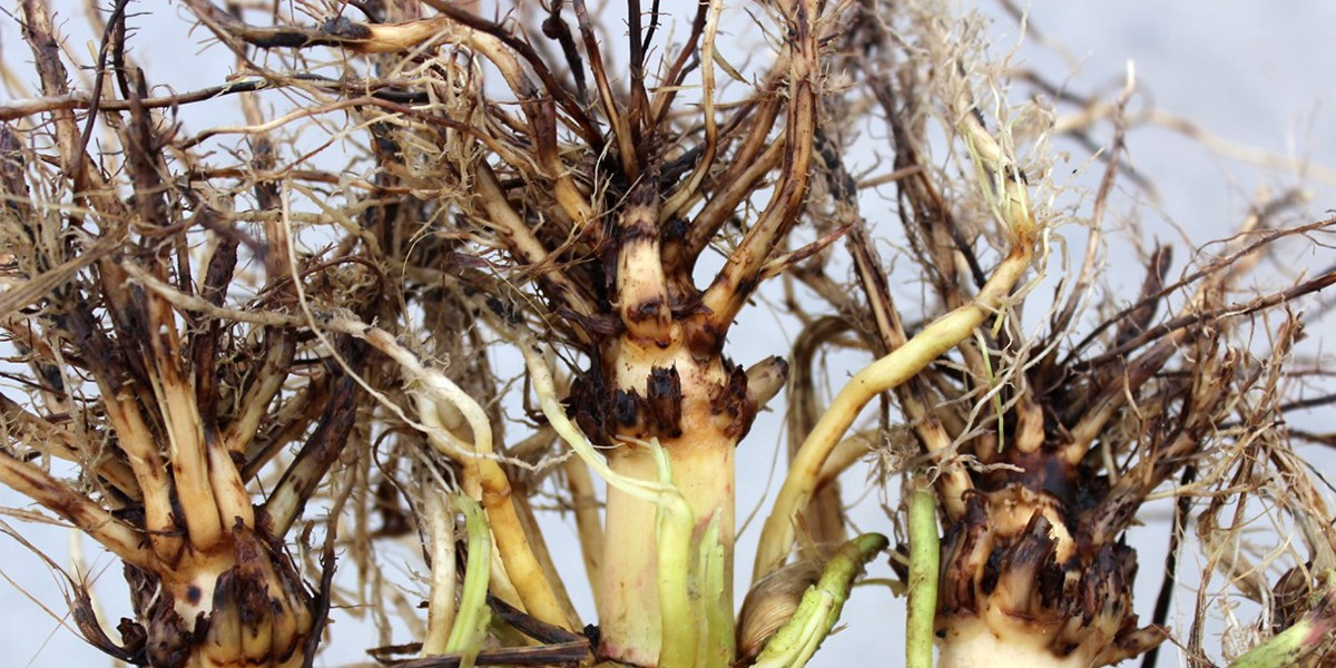 Roots damaged by western corn rootworm