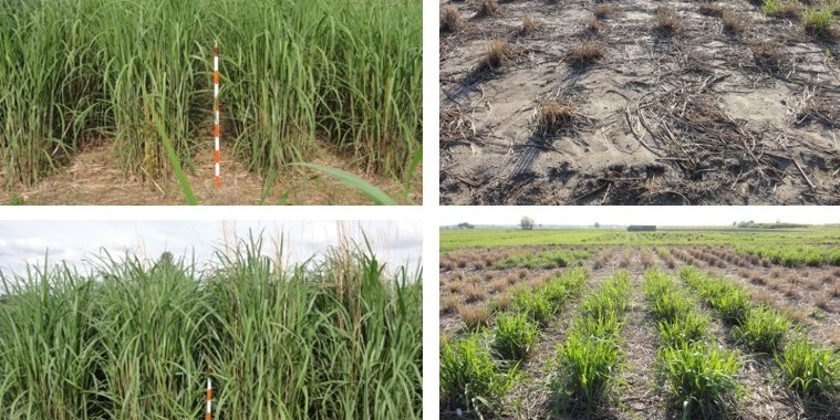 test plots of miscanthus