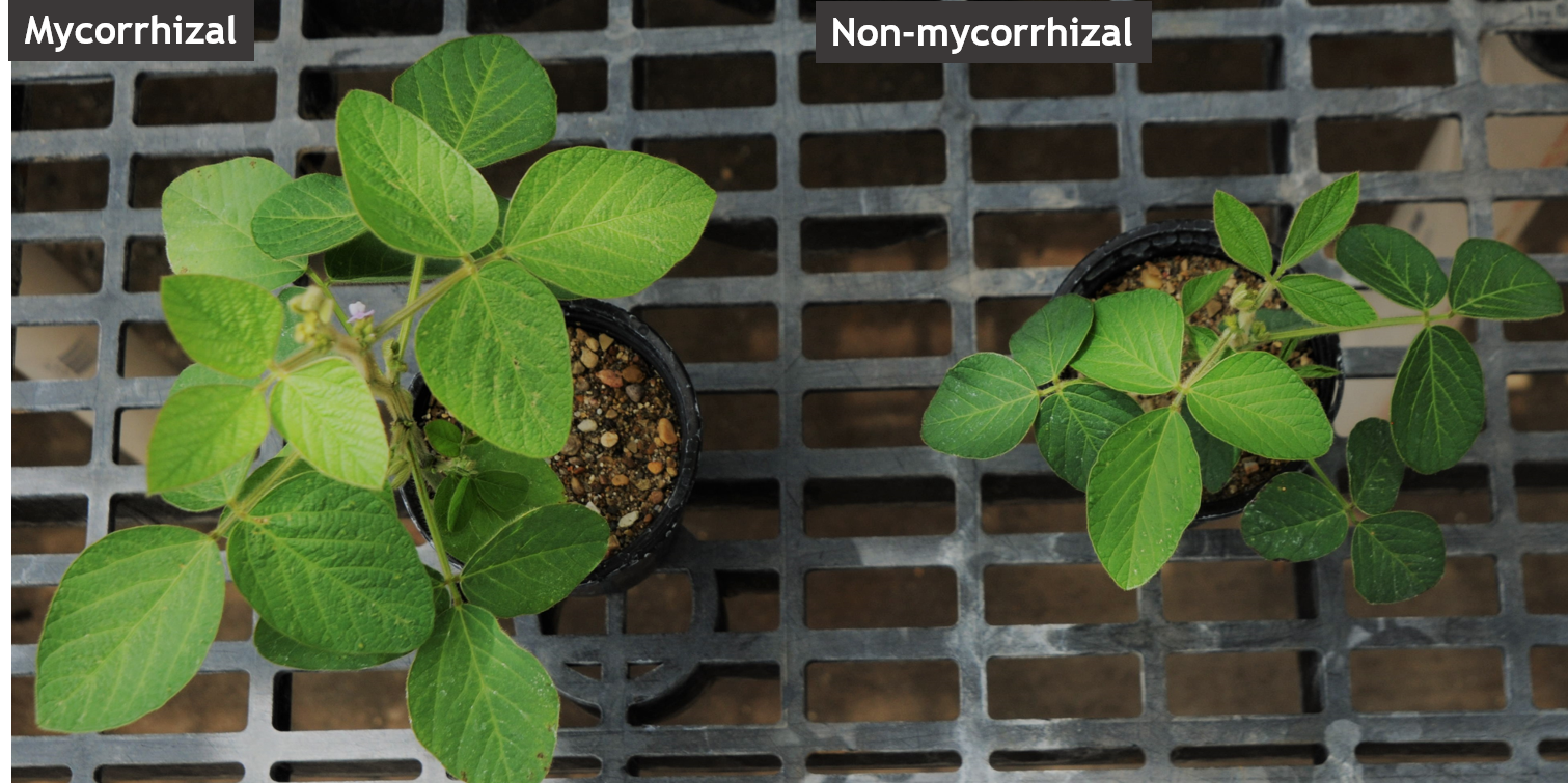 Soybean plants growing with and without mycorrhizae