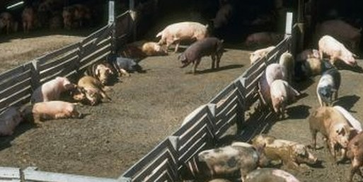 Photo of pigs eating outside.