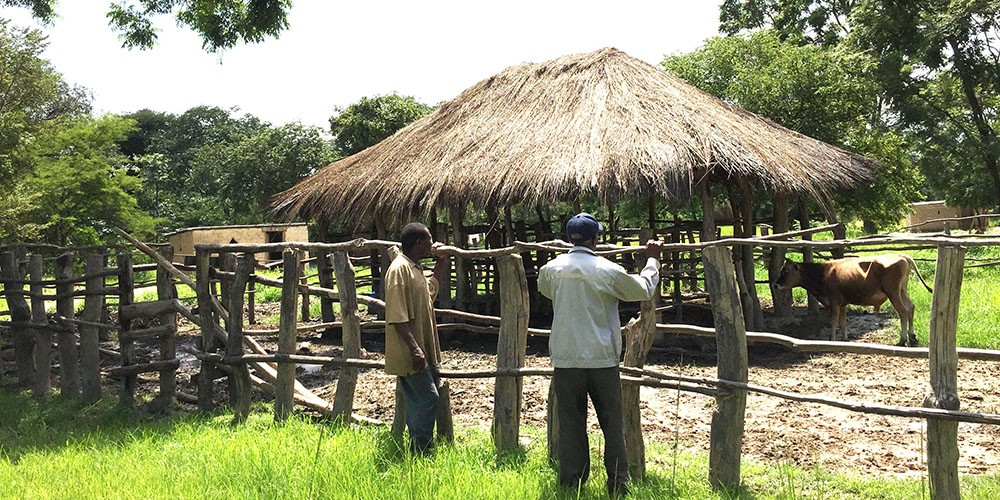 people and livestock in Zambia