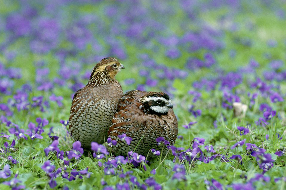 Bobwhite birds