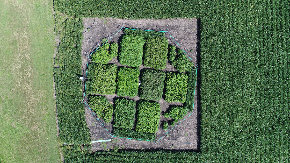 Aerial view of a field study at the University of Illinois SoyFACE research facility