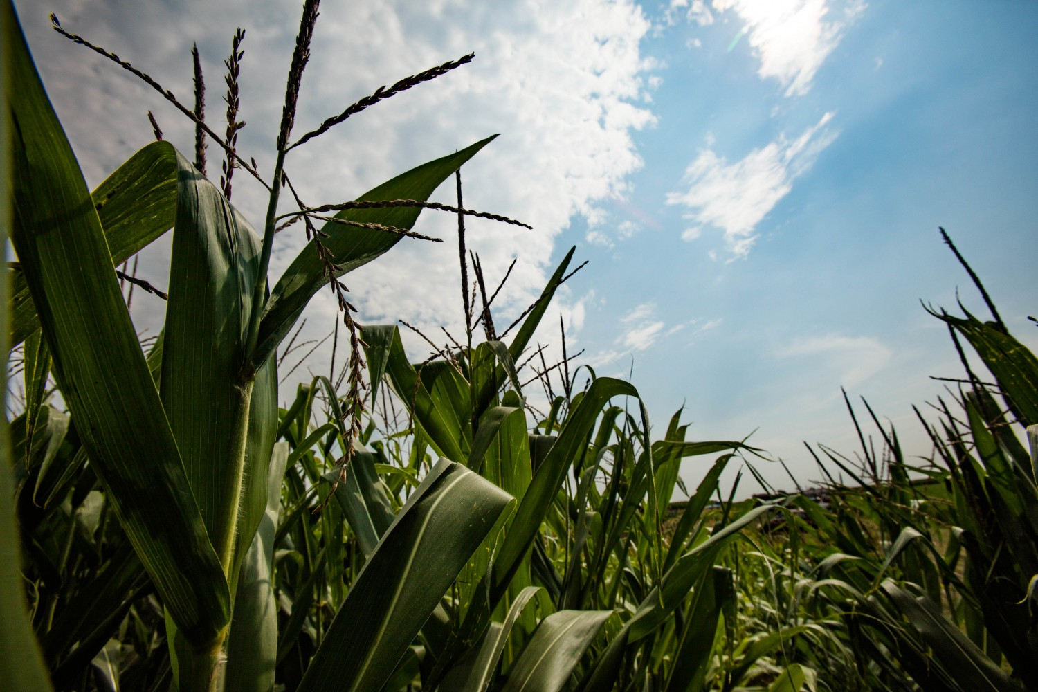 RIPE researchers have shown that by treating photosynthesis as a dynamic process, C4 plants like corn could improve their reaction to changes in light, improving overall yield.
