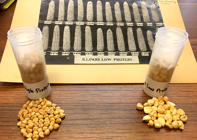 Photo, dated 1919, from long-term experiment, with seeds from both corn varieties