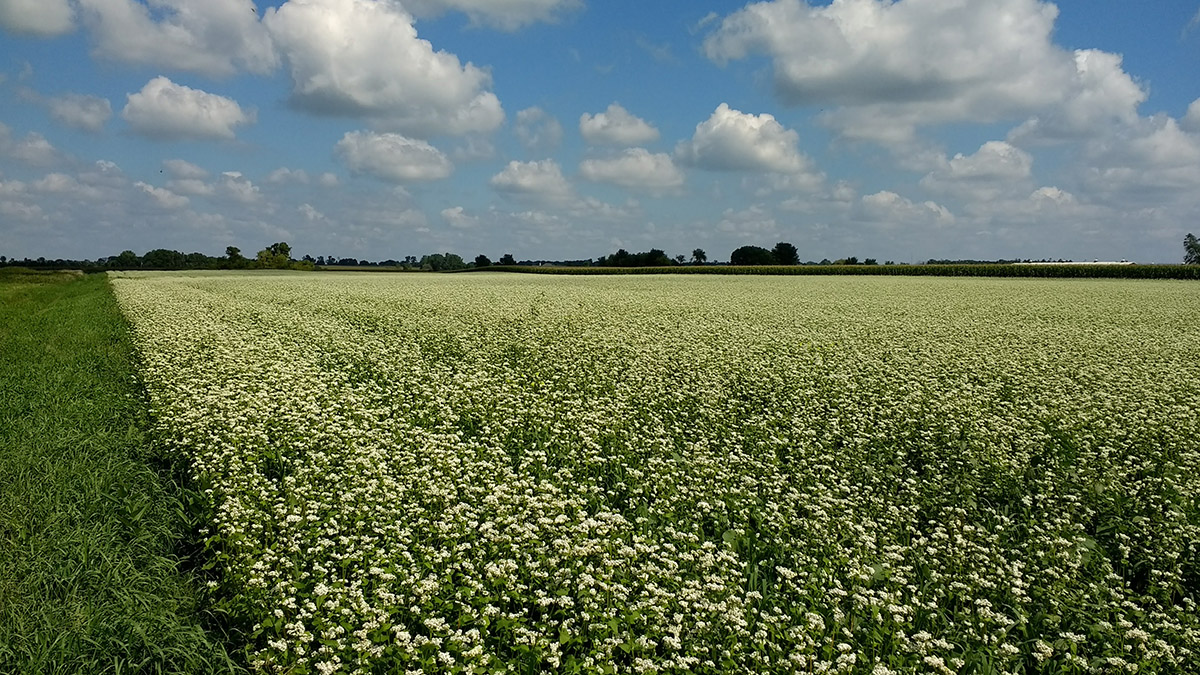 Buckwheat, used as a summer cover crop to build soil and suppress weeds, can also be harvested for grain.