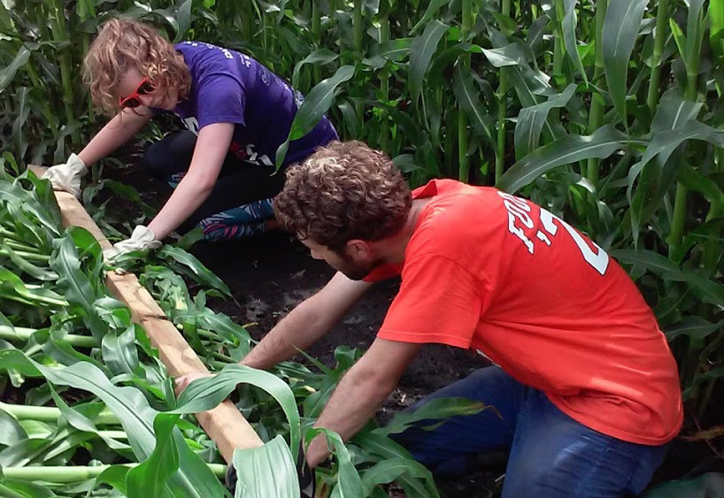 Undergraduate researchers simulate root lodging by knocking corn over with a two-by-four