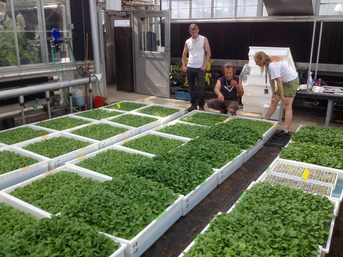 Steven Huber (left), David Drag (center), and Katarzyna Glowacka (right) inspect tobacco plants engineered to cheaply manufacture high-value proteins before transplant.