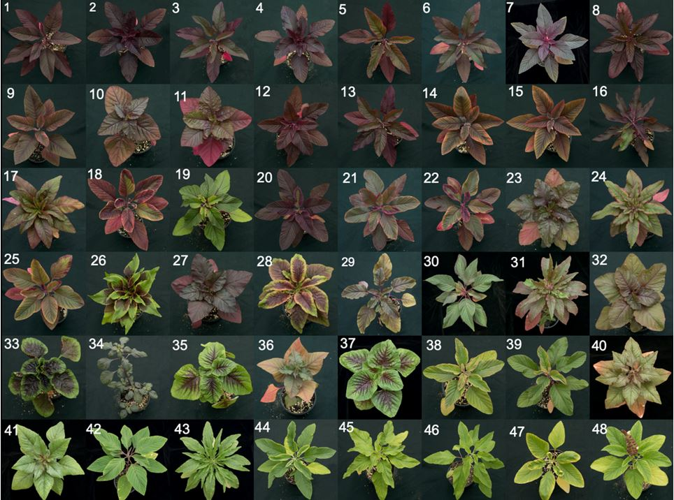 Some of the 48 genotypes Amaranthus species that Chance Riggins studied as part of of his ACES International Seed Grant
