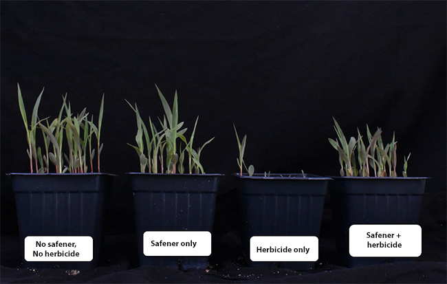 Sorghum plants grown with various chemical treatments