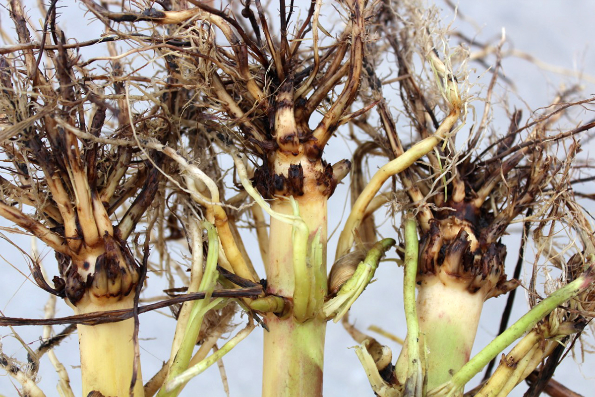 Roots damaged by western corn rootworm. Photo by Joseph Spencer.