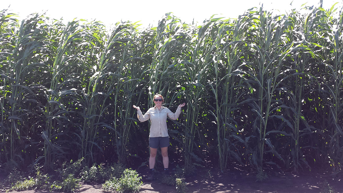 Caitlin Moore in a sorghum field at the UIUC Energy Farm