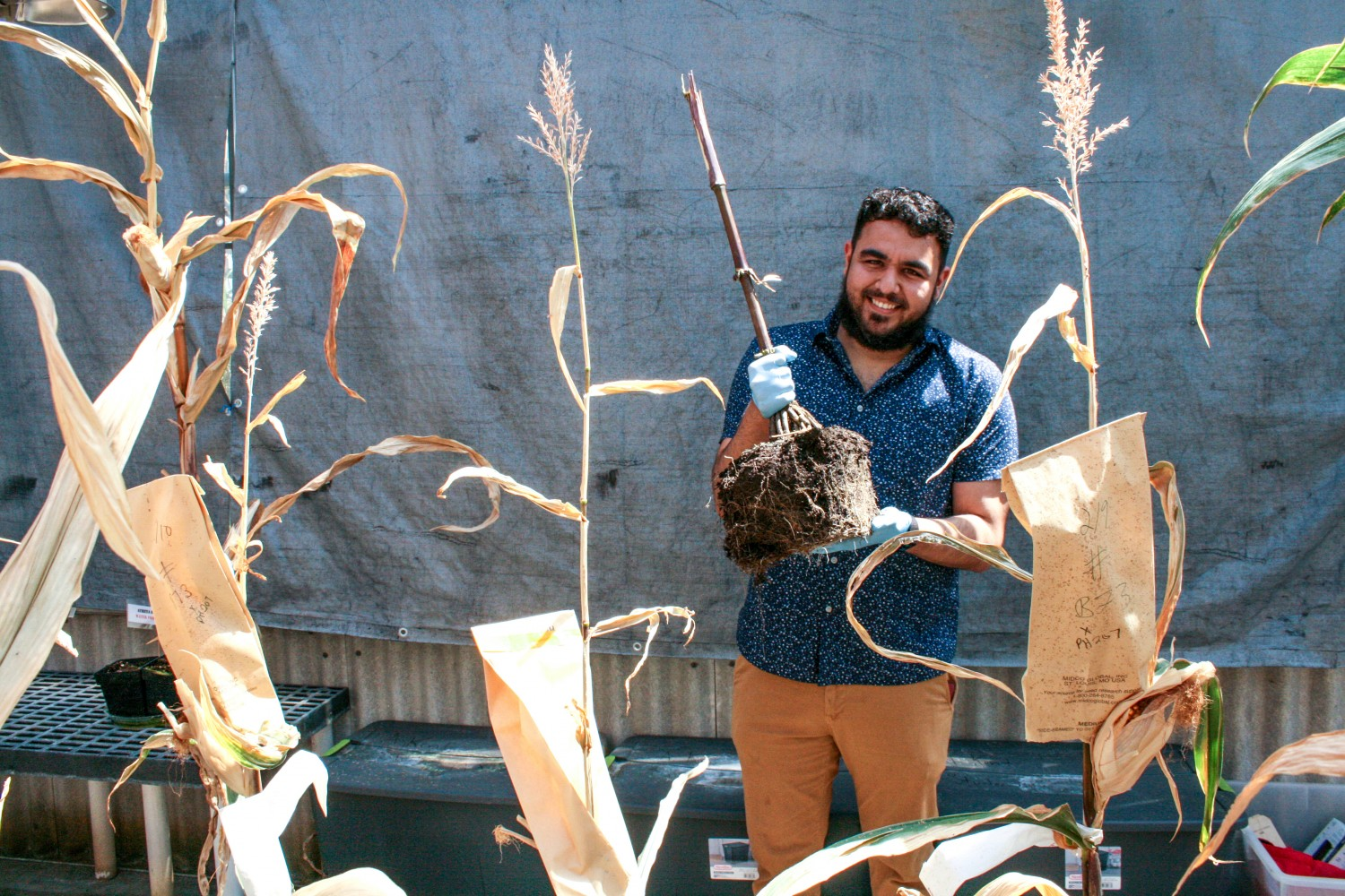 Alonso Favela holds a corn plant in a U of I greenhouse