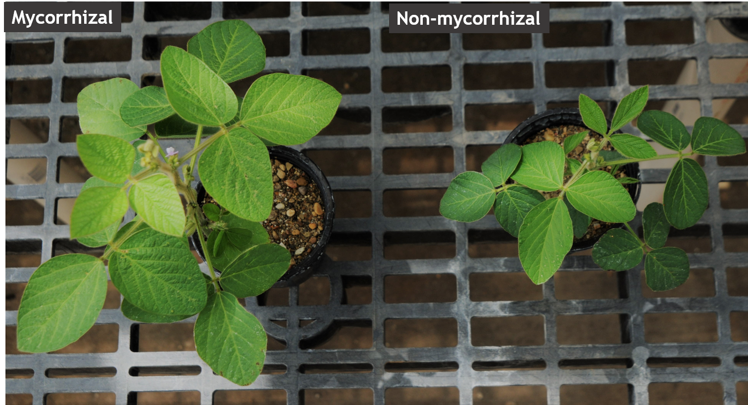Soybean plants growing with and without mycorrhizae. Photo courtesy of Michelle Pawlowski.