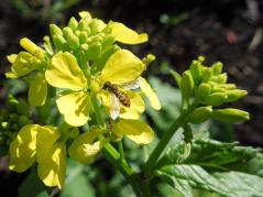 Hoverfly adult