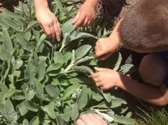 Children touching fuzzy leaves