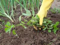 A Hand Plucks Weeds from the Soil