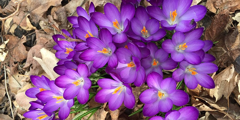 Purple crocus emerging from dead leaves