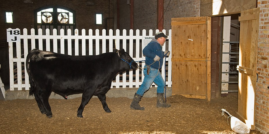 Man leading a bull through a doorway